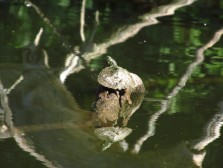 Map Turtle-Adult IMG_5241