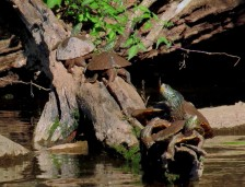 Map Turtles-Adults IMG 5809